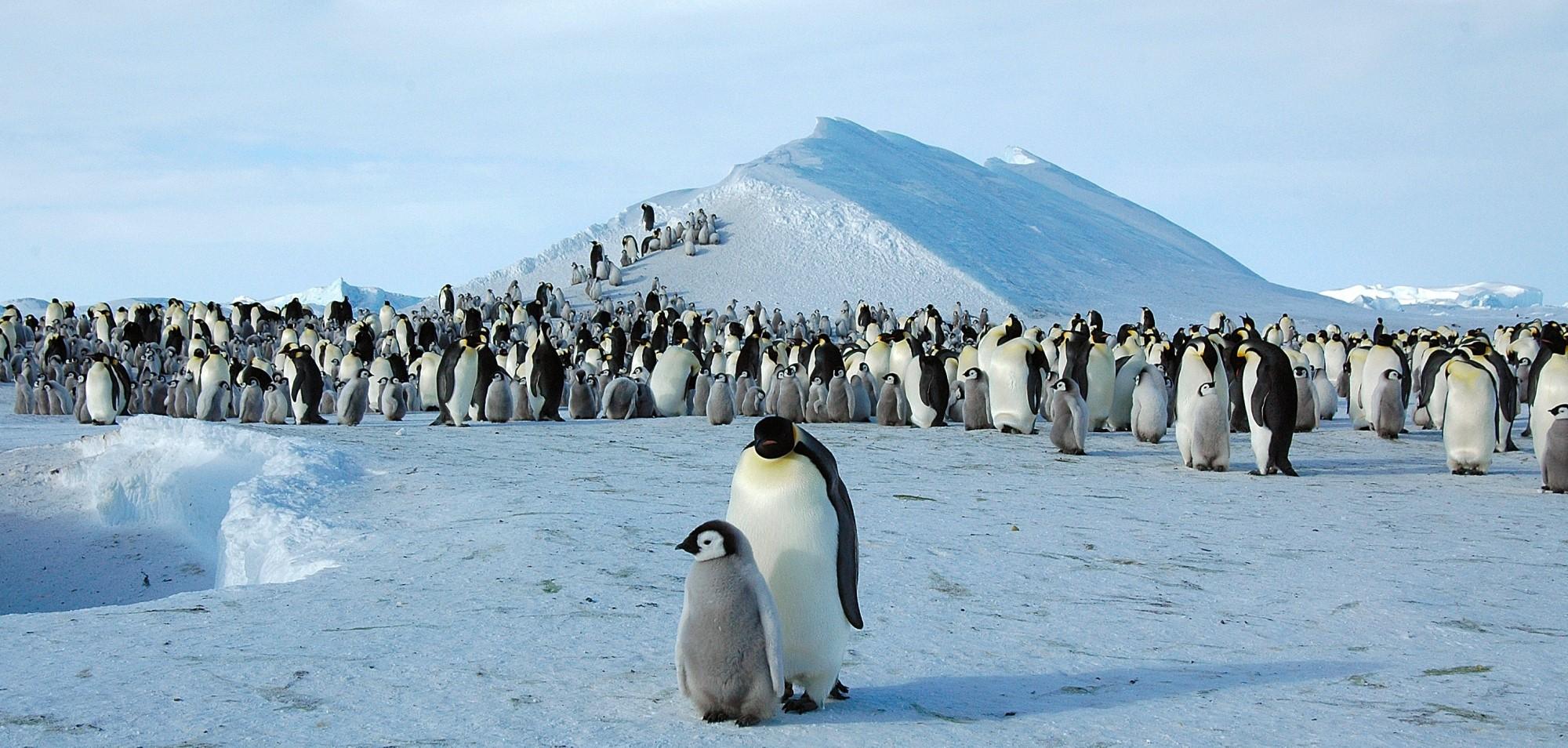 Keiserpingvinenelever i Antarktis og er avhengige av stabil havis for å kunne hekke. Foto: Wikimedia Commons/D. Luyten