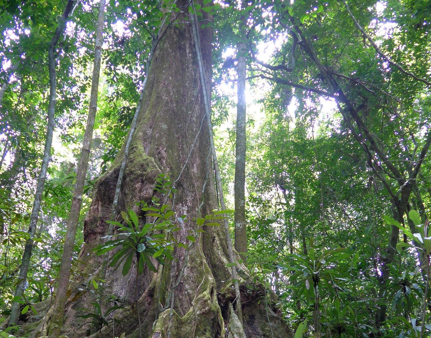 Tropisk regnskog i Gabon i 2015. Foto: ESA/K. Scipal