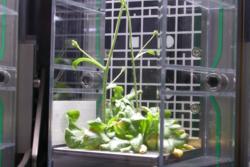 Vårskrinneblom i planteforsøk på romstasjonenfor NTNU. Foto: CIRiS