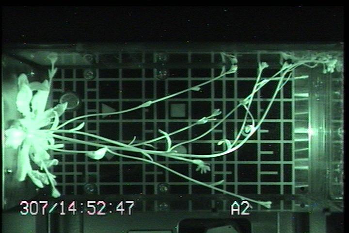 Vårskrinneblom vokser på romstasjonen i 2007 for å undersøke effekten av ulikt lys og tyngdekraft på plantevekst. Det spesialbygde vekstkammeret er utviklet i Norge. Foto: ESA